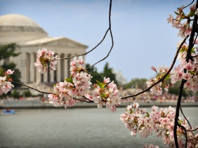 Pale-pink cherry blossoms, backdropped by the softly focused Tidal Basin and Jefferson Memorial.