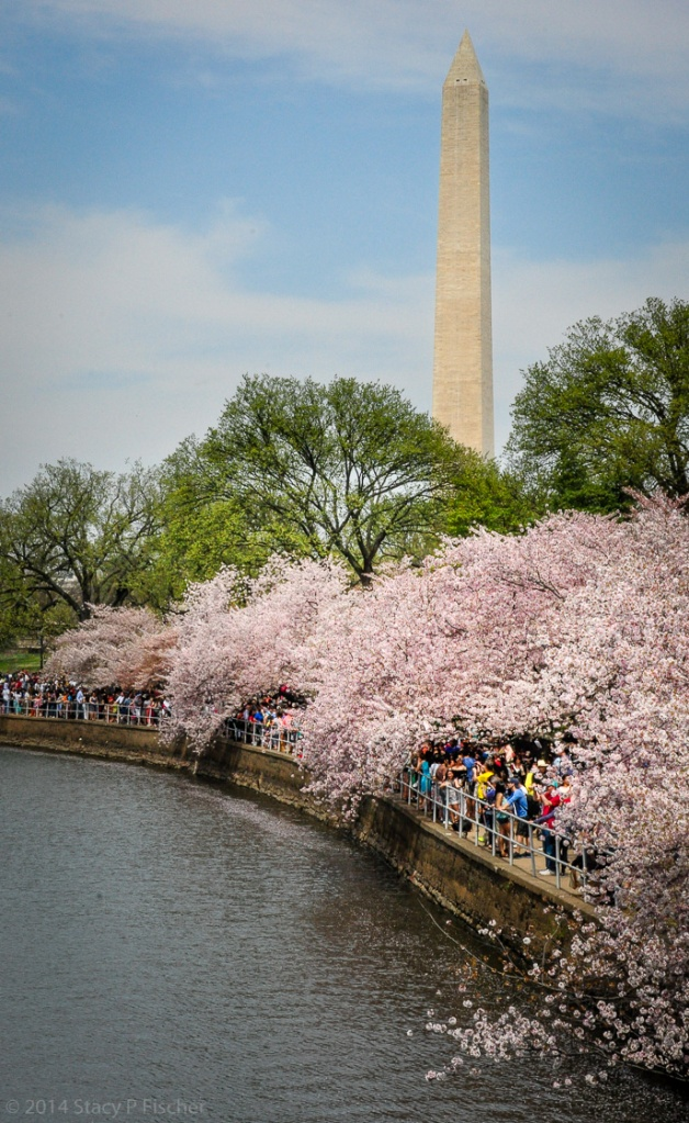 Visitors walk under a canopy of blossom-ladened tree branches, while the Washington Monument beckons in the distance.
