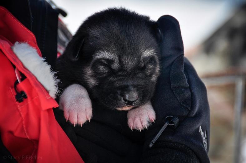A week-old black-faced husky puppy, eyes still closed.