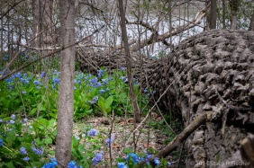 A massive fallen tree trunk seems to curve around a patch of delicate bluebells.