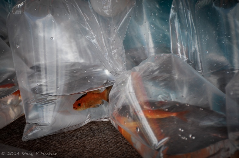 Goldfish in individual plastic bags filled with water.