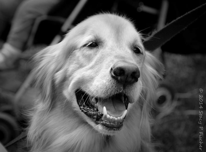 Head of a golden retriever, looking right, with mouth open, as if smiling