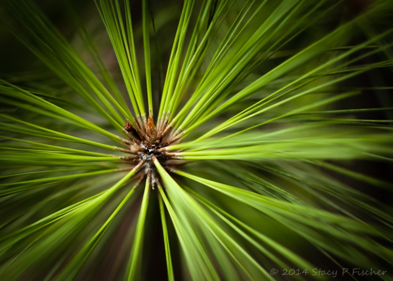 Close-up of a the of a pine tree branch, giving the needles a green starburst effect