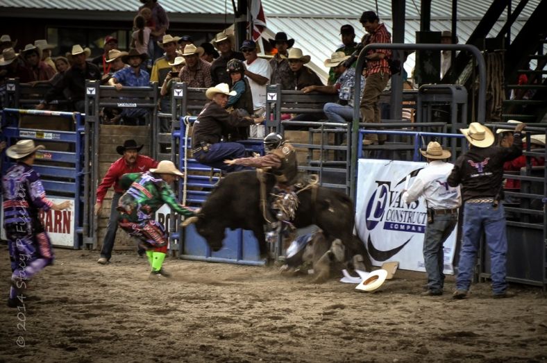Rodeo cowboy caught underneath hooves of bucking bull.