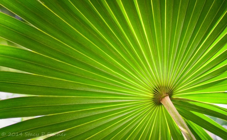 Underside of a palm frond displays geometrical beauty of converging lines