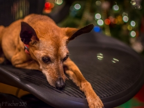 Miniature Pinscher resting on office chair.