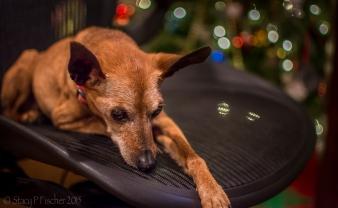 Miniature Pinscher resting on office chair.