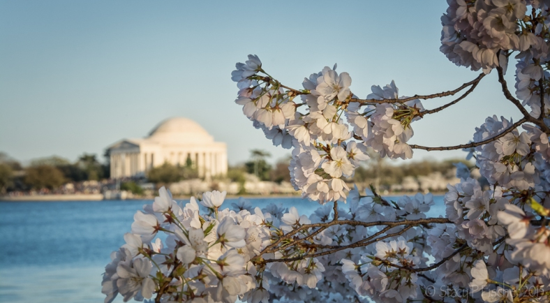 Cherry Blossoms with a view of the Jefferson Memorial in the background.