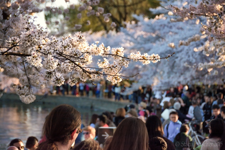 Cherry Blossoms and the crowds around the Tidal Basin in Washington, DC.