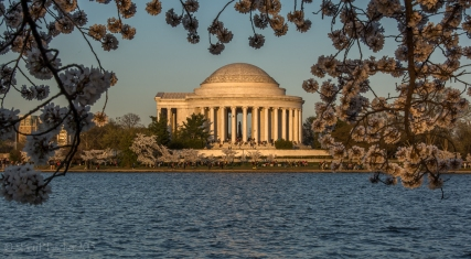 Cherry Blossoms surround Jefferson Memorial during awash in golden light of late afternoon