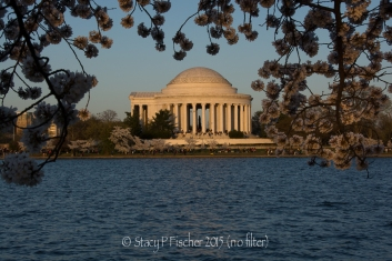 No filter photo; Cherry Blossoms surround Jefferson Memorial during awash in golden light of late afternoon