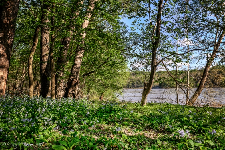 Virginia bluebells along the banks of the Potomac River