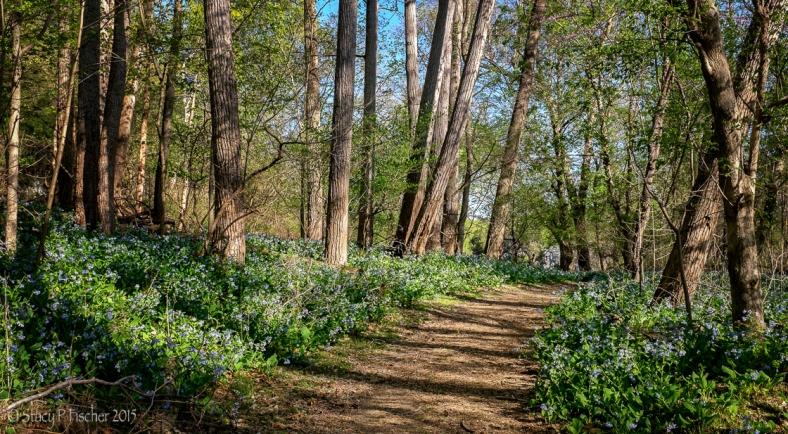Virginia bluebells line a woodland trail.