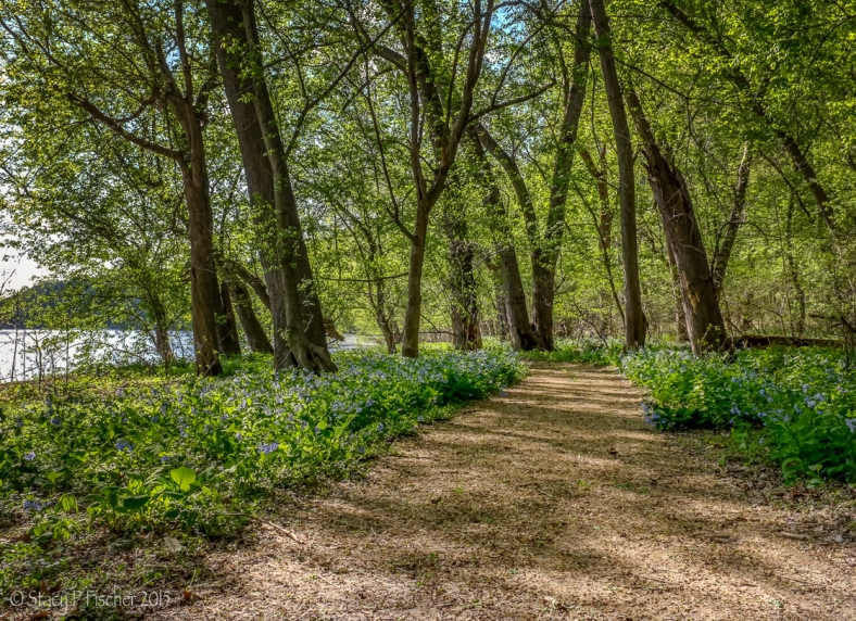 Virginia bluebells line a trail alongside the banks of the Potomac River