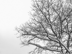 Snow-covered branches of tree against a winter sky.