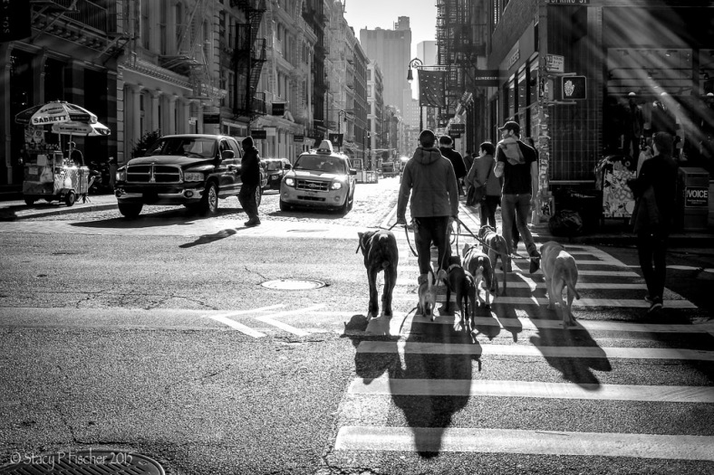 Dog walker in SoHo, New York City